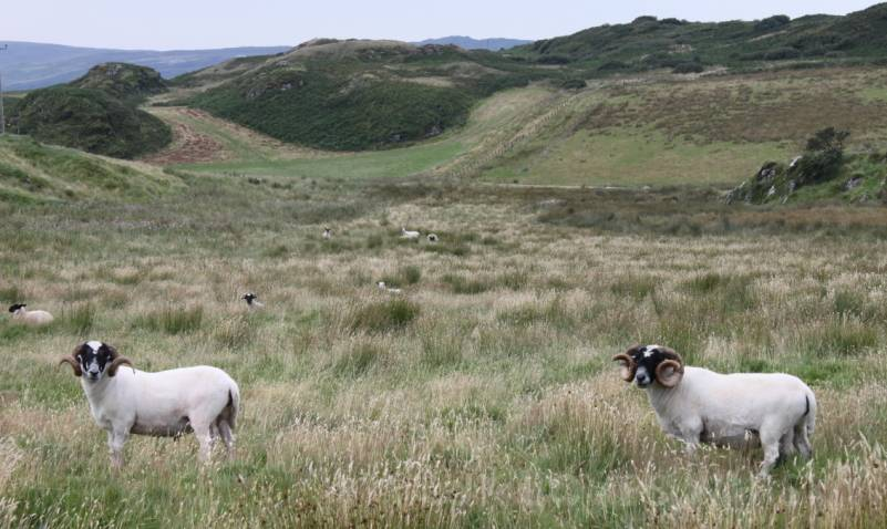Sheep and lambs everywhere in abundance, Laphroaig Distillery, local valleys and hills