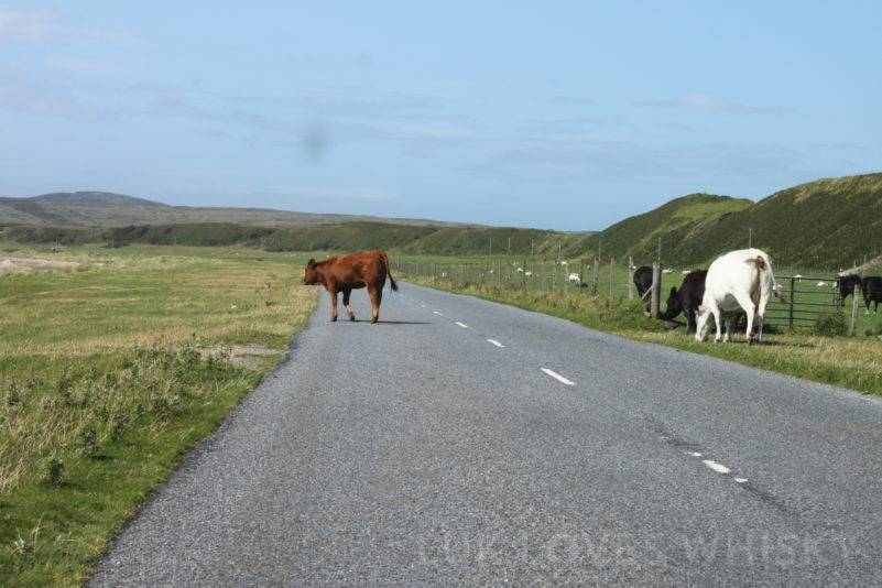 Cows on the road - have become part of the landscape on Islay