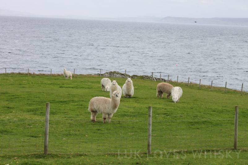 There is also a place for llamas, Islay of Islay