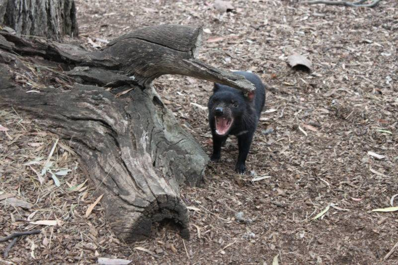 Staying still in climates of Tasmania - Tasmanian Devil
